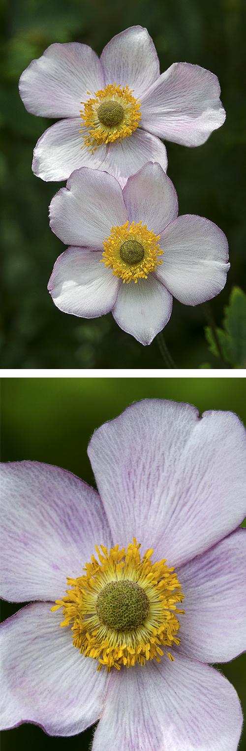 Anemones x 2
