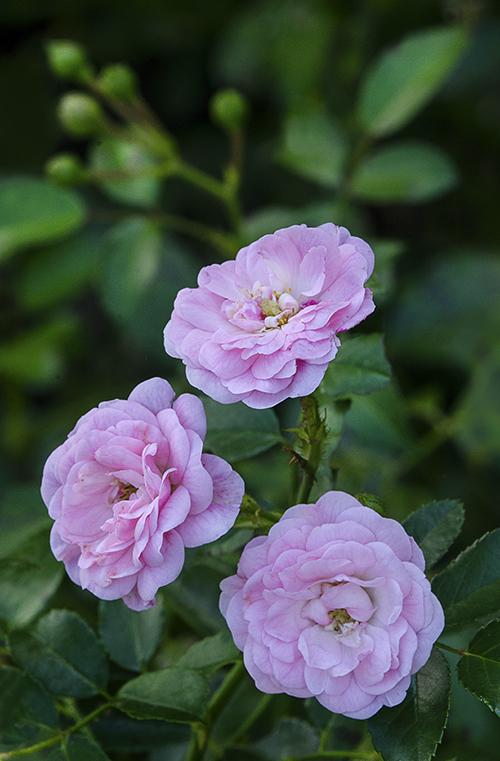Fairy Roses lorez