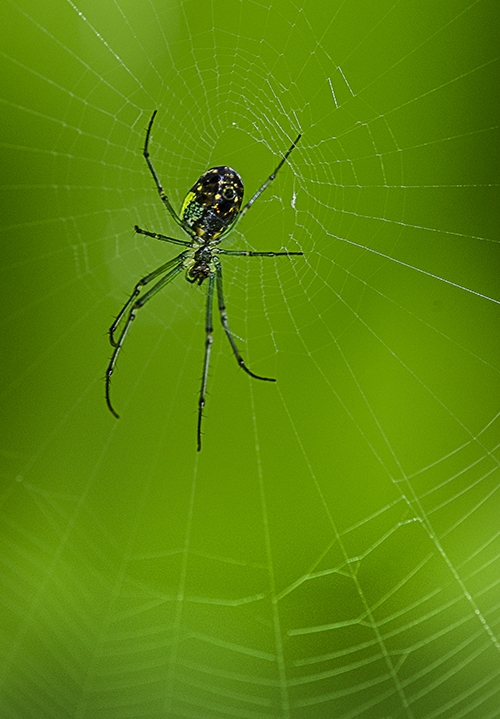Green Legged Spider lorez