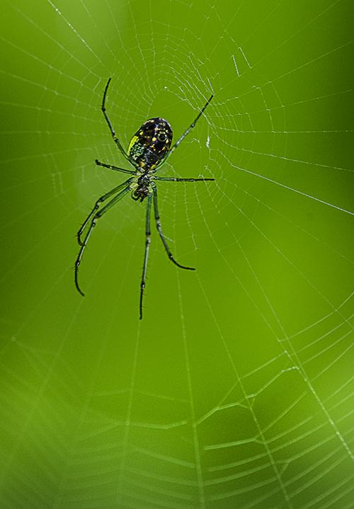 Green Legged Spider lorez