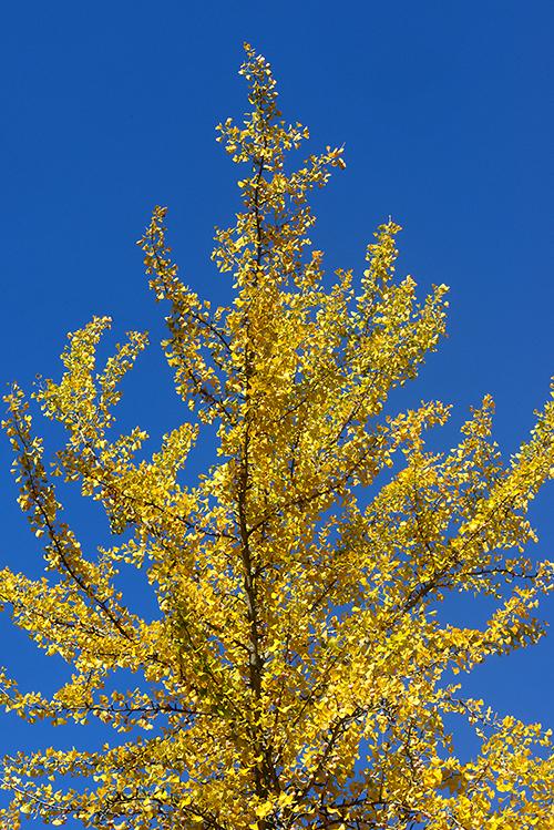 Ginkgo Tree WP