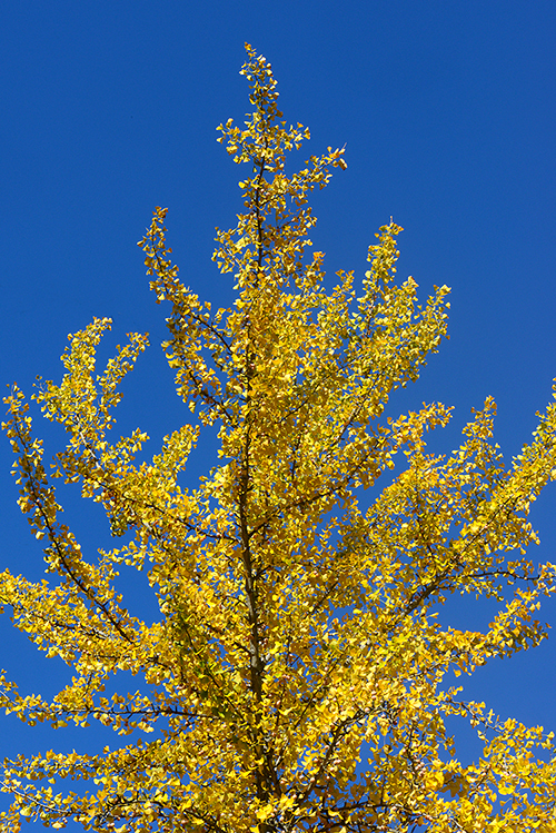 Ginkgo Tree WP