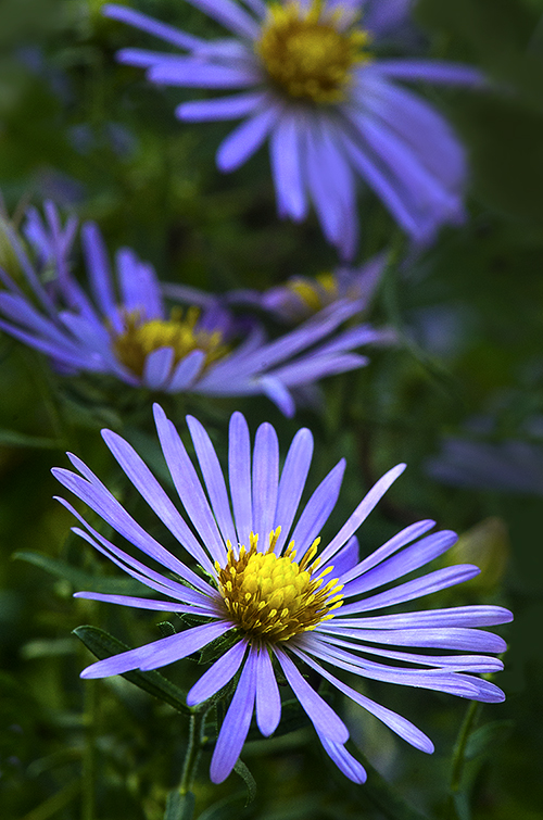 Purple Asters blog