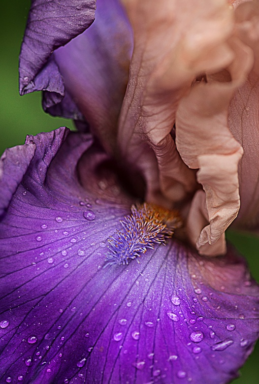 PeachPurple Bearded Iris