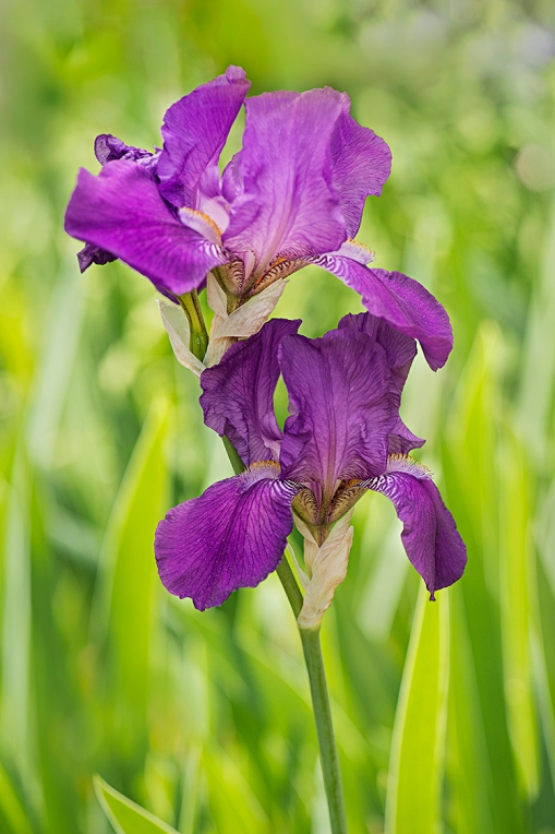 Purple Iris lorez
