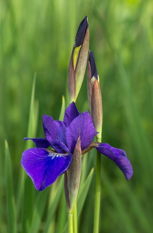 Siberian Iris 1