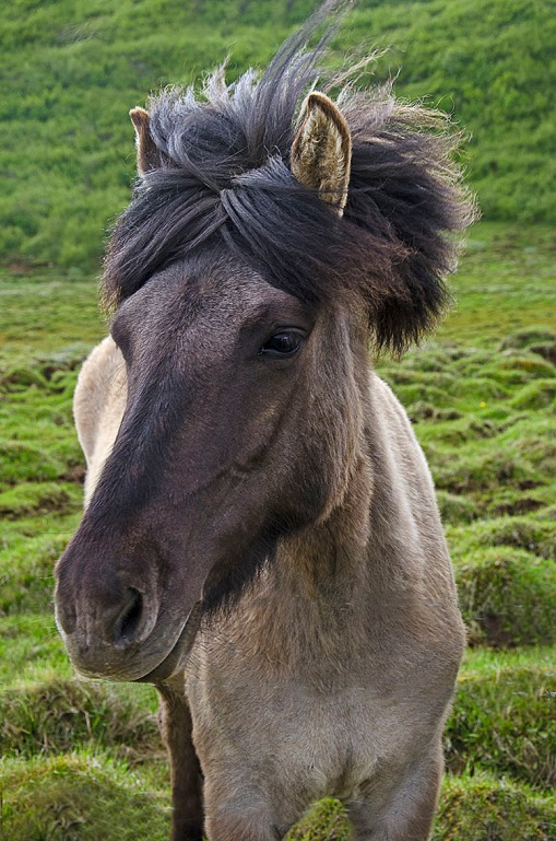 Cute do Icelanic Horse