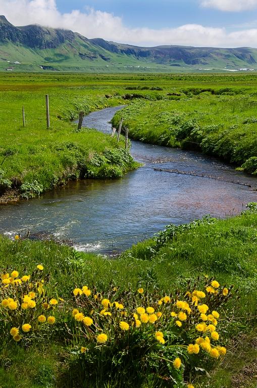 Dandelions Stream