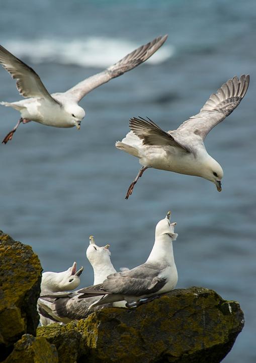 Gulls Squawking