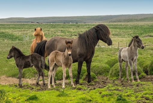 Icelandic horses with babies