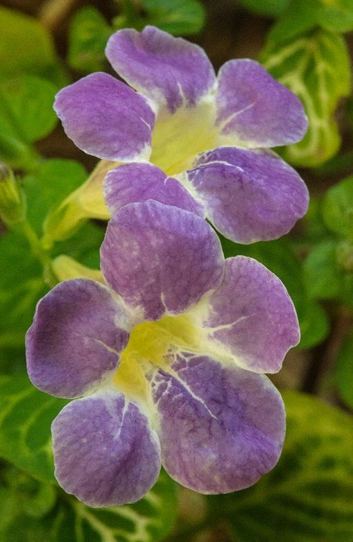 Primrose lorez