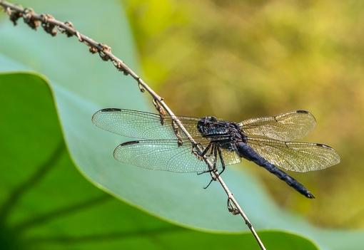 BlackDragonflyLotusLeaf