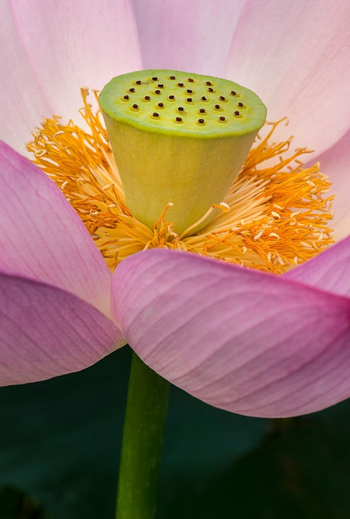 Lotus Closeup