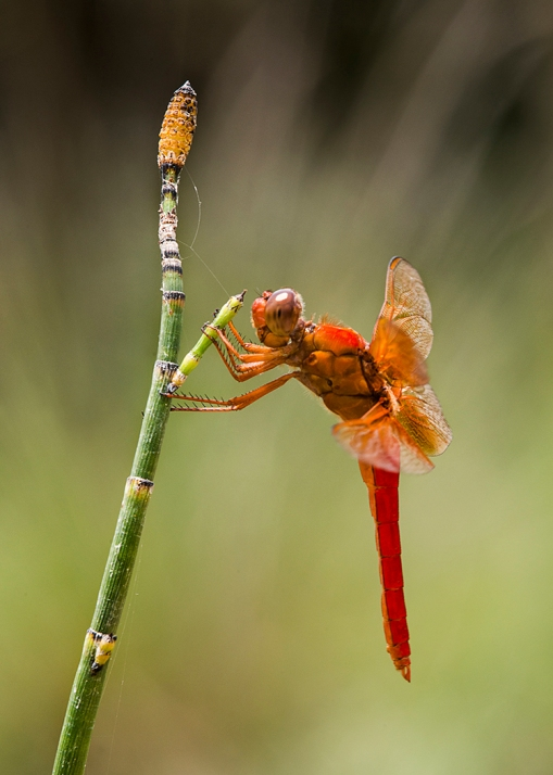 RedDragonfly Web