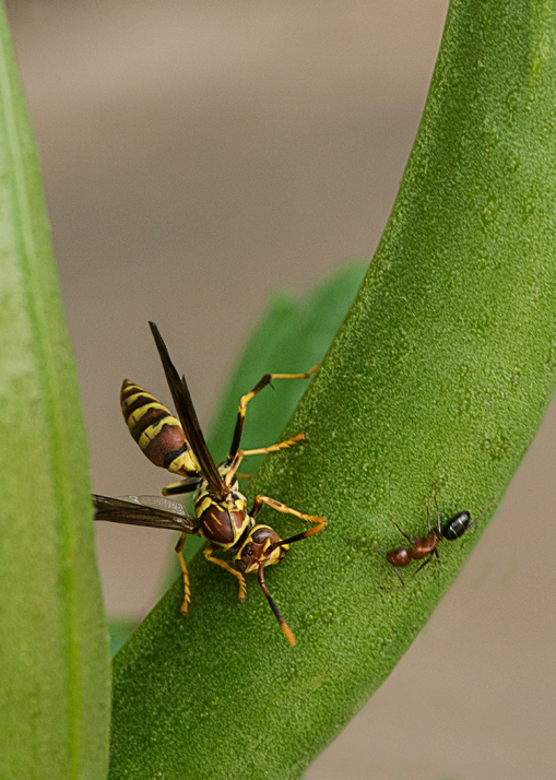 Wasp and Ant FB