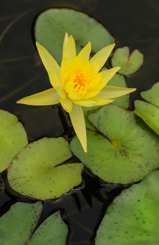 YellowWaterLily lorez