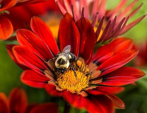 Bee on Ganzania