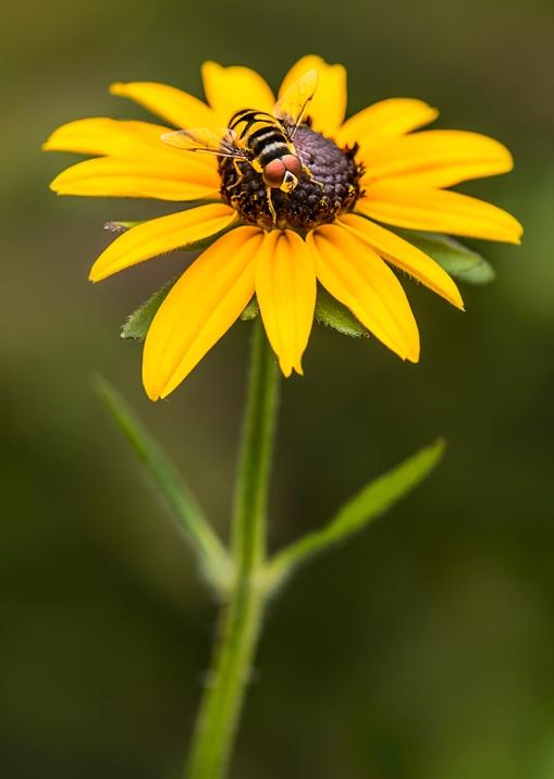 FlowerflyRudbeckia