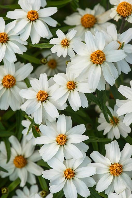 White Flowers lorez