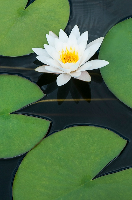 White water lily lorez