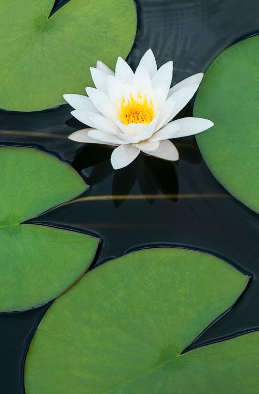 White water lily lorez