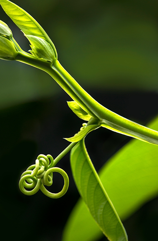 CurlyQTendril