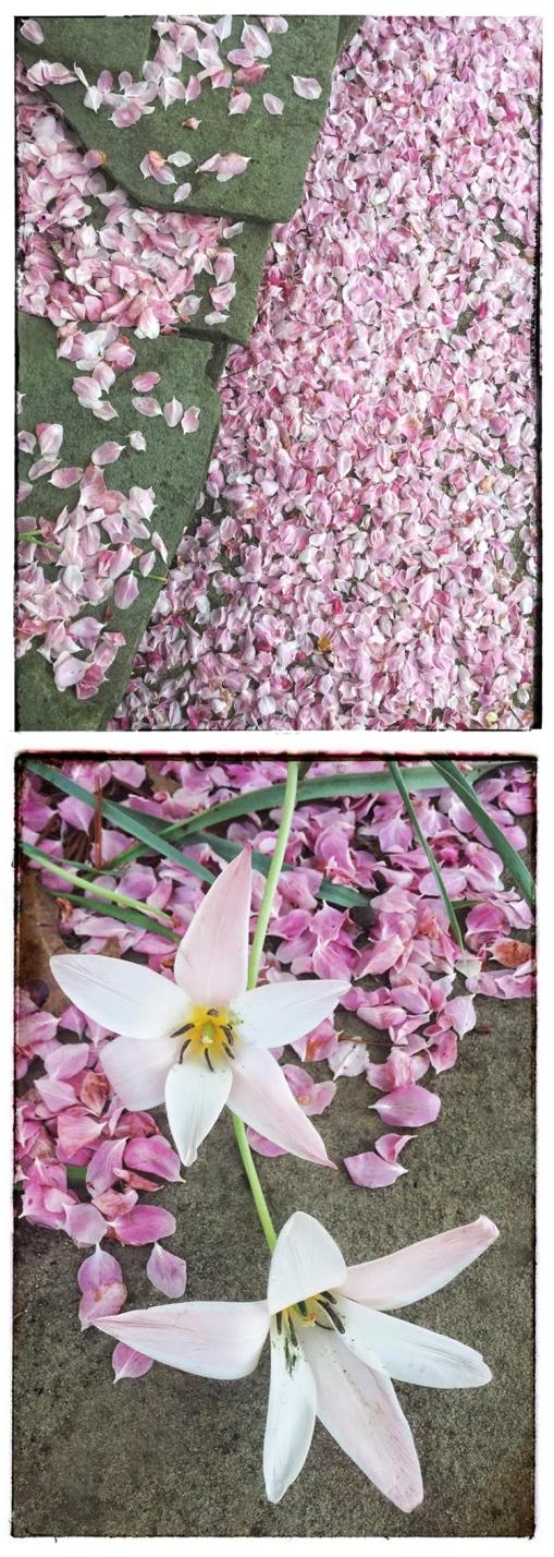 Confetti Tulip