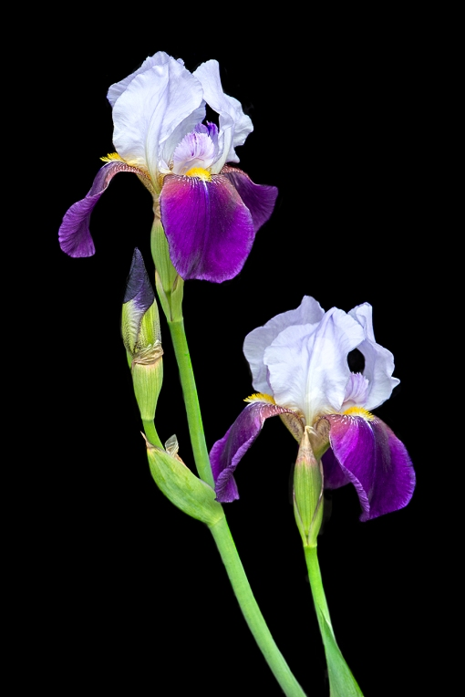 PurpleWhiteBeardedIrislorez