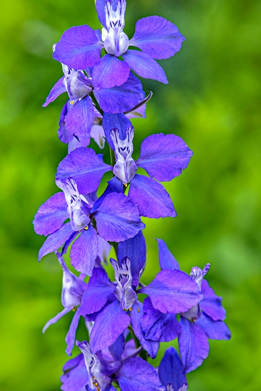 BlueDelphinium lorez