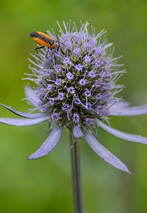 Orange Bug Sea Holly