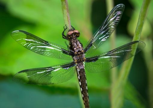 JuvenileDragonfly