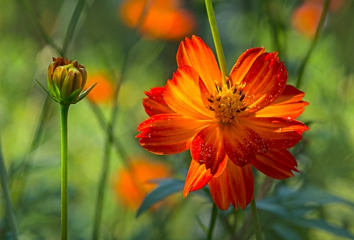 OrangeCosmos lorez