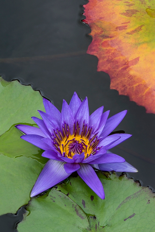 PurpleLilyGreenOrangeLeaf
