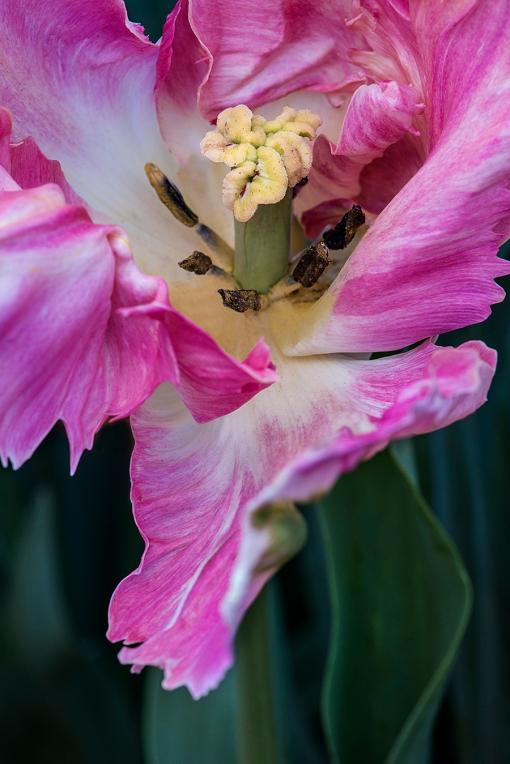 Pink Fringed Tulip lorez