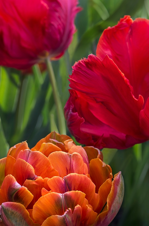Three Tulips lorez