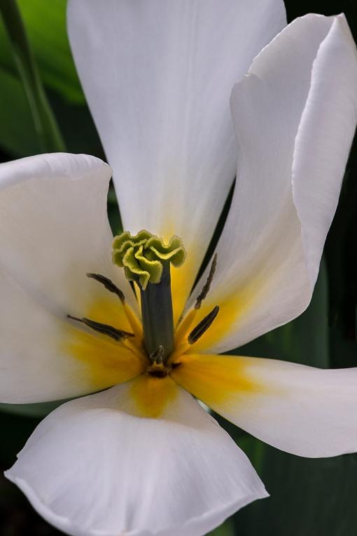 White Tulip lorez
