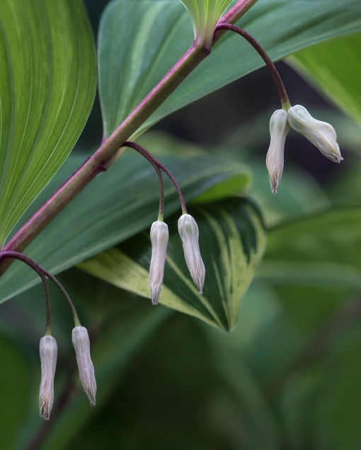 WEB Solomon's seal