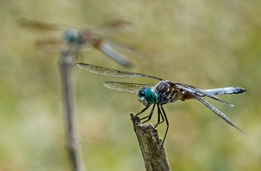 WEB Two Blue Dasher