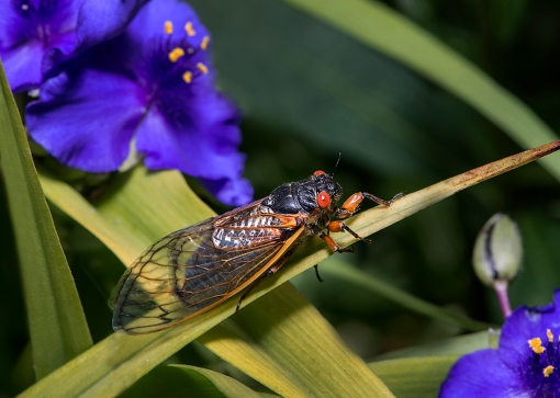 Cicada 1 web