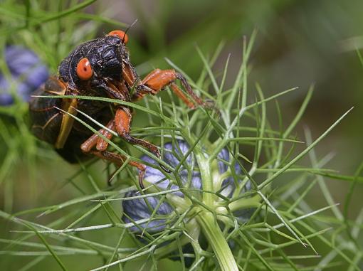 Cicada love 2