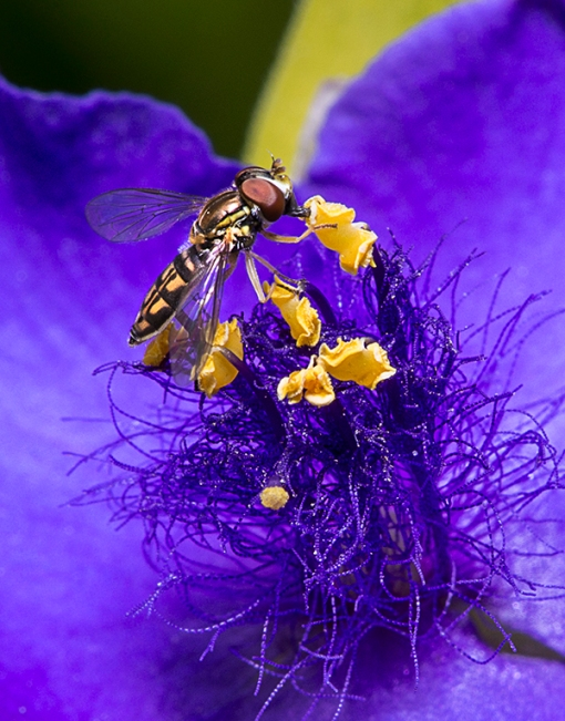 Hoverfly closeup
