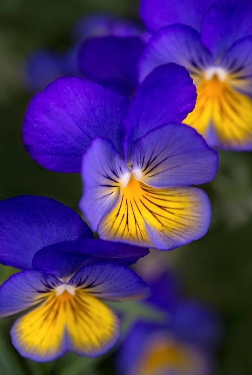 Violas closeup 1 web