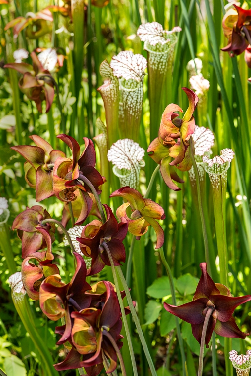 WEB Pitcher Plants 1