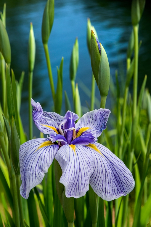 WEB Water Iris Striped
