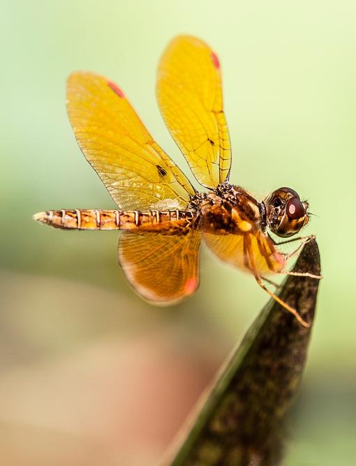 WEB Amberwing 1