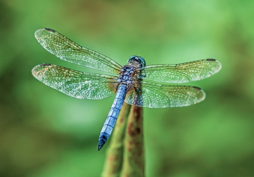 WEB Blue Dasher 2