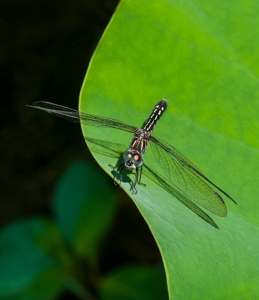 WEB Female Blue Dasher
