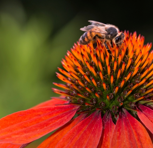 WEB Honeybee on Coneflower
