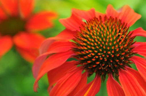 WEB Orange Coneflower