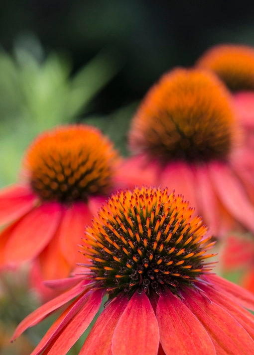 WEB Orange Coneflowers